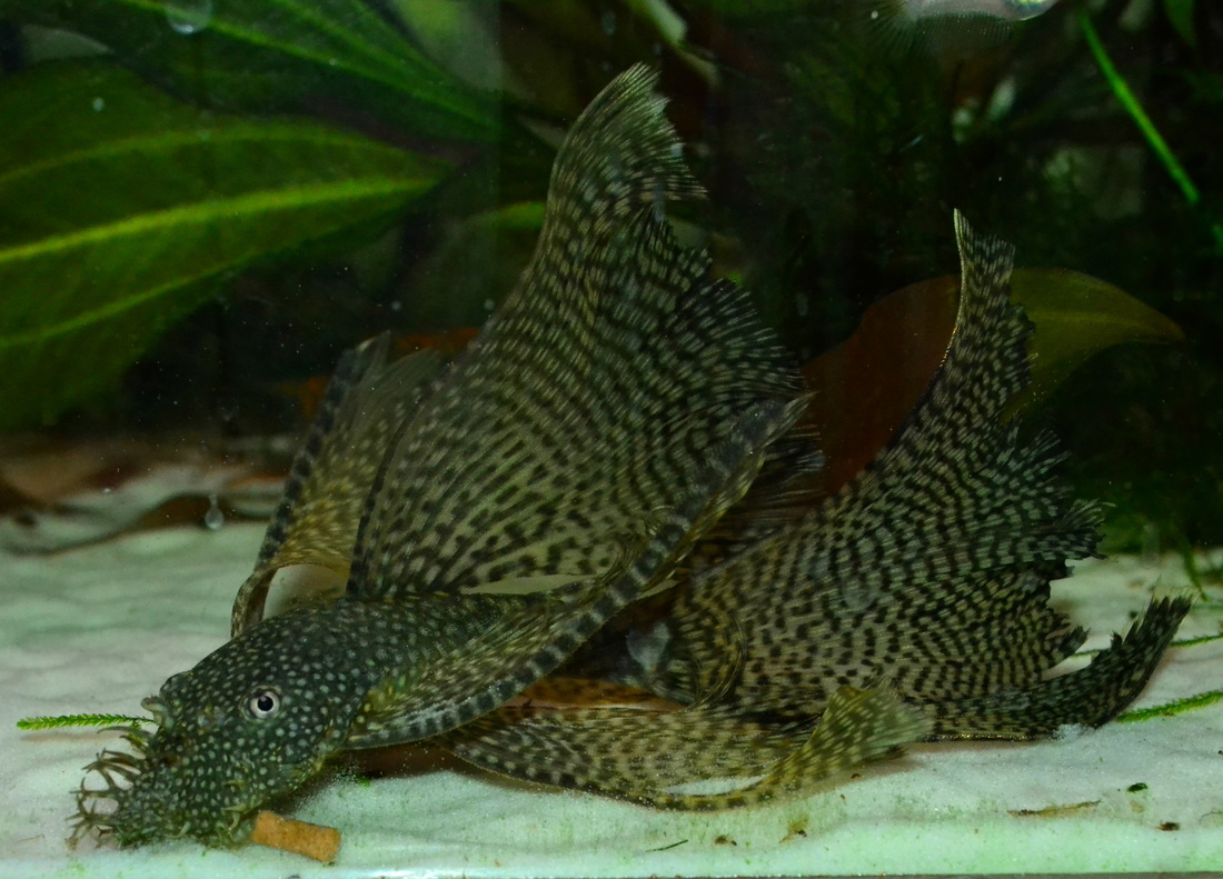 Long fin bristlenose pleco that Ive had since she was only an inch ...
