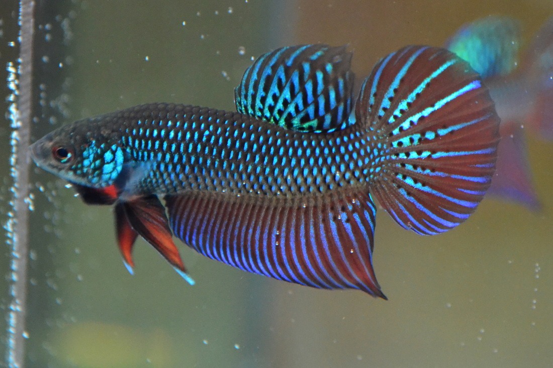Stunning smaragdina males inglorious bettas for Betta fish personality